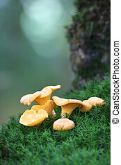 Chanterelles on the moss, in the undergrowth
