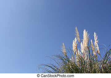 Pampas grass (Cortaderia selloana) over a shaded blue sky...