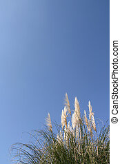 Pampas grass Cortaderia selloana over a shaded blue sky...