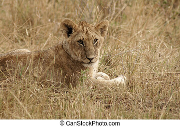 Lion - Young lion lying in the grass in the Masa Mara