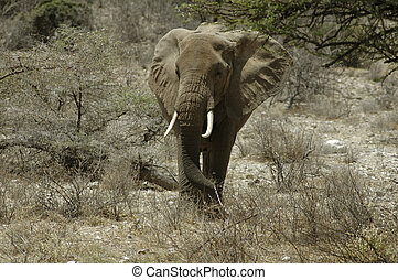 Elephant in the desert of Buffalo Springs, Kenya