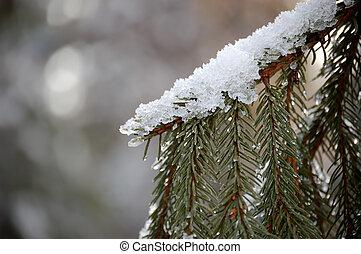 Snow on Fir Branch - Wet snow covering a fir branch. Copy...