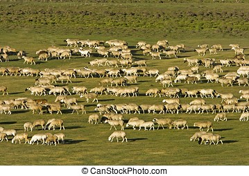 Group of Sheep - A group of sheep passing through a...