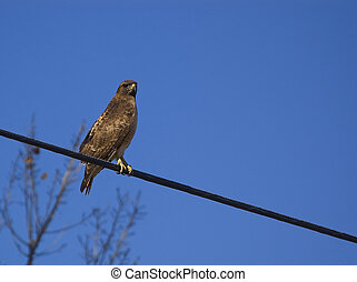 Red Tail Hawk - Red tail hawk on power line
