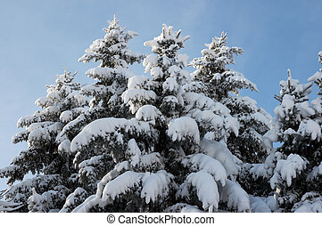 Winter firs - Tops of winter snow covered fir trees on blue...