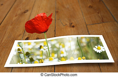 Looming Poppy - Poppy looming from a printed photo paper, on...