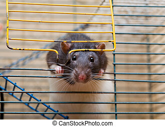 Curious glance - domestic rat looking out the entrance of...