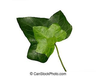Threefold ivy leaf
