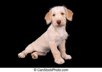 Puppy  - Cute yellow puppy face up close isolated over black