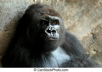 Gorilla - Male silverback gorilla sitting in a cave and...