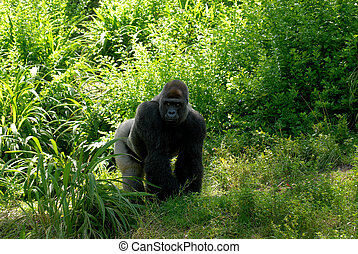 Gorilla - Male silverback gorilla walking in a forest and...