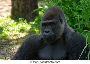 Gorilla - Male silverback gorilla sitting in a forest and...