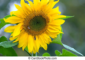 Busy Bees - A sunflower in full bloom in the fall with...