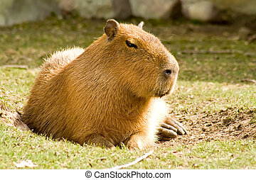 Capybara - A capybara, the largest member of the rodent...