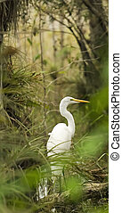 Egret in the Everglades - A Great White Egret standing in...