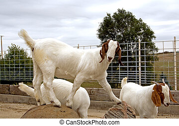 Aftican Boer Goats - A posing female South African Boer goat