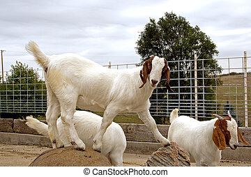 Aftican, BOER, cabras