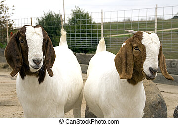 South African Boer Goats - A pair of sibling South African...