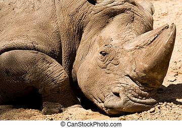 Muddy Rhino - A resting, muddy rhinoceros
