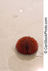 Sea Urchin - A close-up of a red, spiny urchin