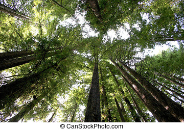 Tall redwood trees. - Looking up at the tall redwood trees...