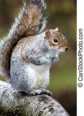 Squirrel (Sciuridae) - A close up shot of a squirrel.