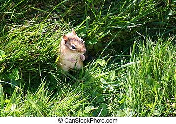 Chipmunk (Sciuridae) - A chipmunk (Sciuridae) standing...