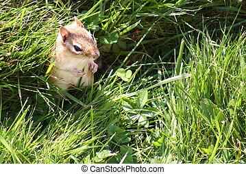 Chipmunk (Sciuridae) - A close shot of a chipmunk standing...