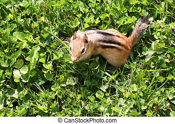 Chipmunk (Sciuridae) - a close shot of a chipmunk playing in...