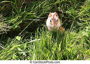 Chipmunk (Sciuridae) - A chipmunk standing upright in grass