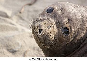 baby seal - Close-up of the face of a baby California...