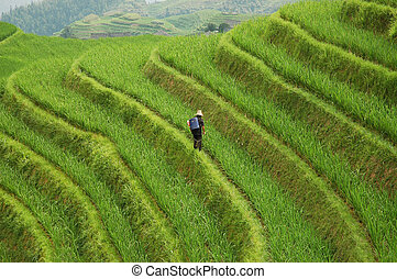 Worker on rice terraces - Solitary worker on bright green...