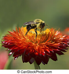 bee on flower - bee on a red and yellow flower