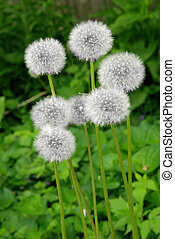 Dandelions growing in front of a soft focused green...