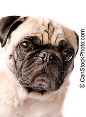 Pug dog - Here is a picture of a pug dogs head