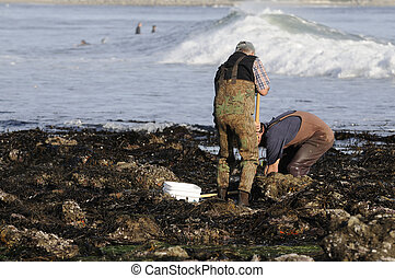 Clam diggers - A pair of clam diggers moving rocks looking...