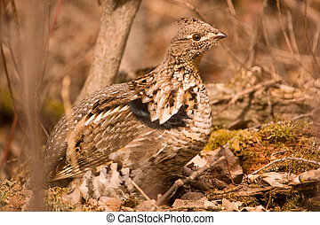 Ruffed grouse in the bushes
