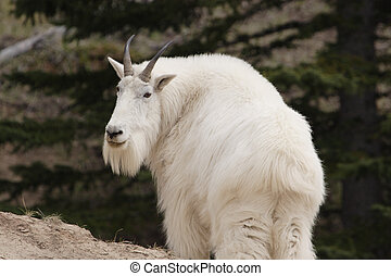 Mountain goat - Mountain goat shot in Yoho National Park,...