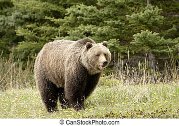 Grizzly bear - Large grizzly shot in Jasper National Park