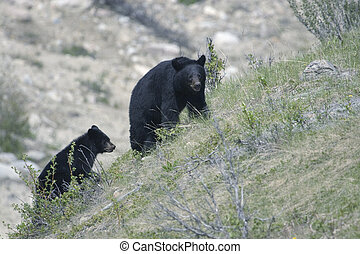 Black bear and cub - Shot in Jasper National Park, Alberta