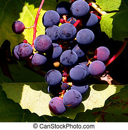 Cluster of grapes - A cluster of dark blue grapes in natural...