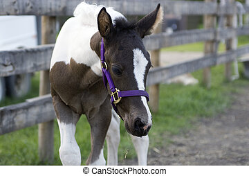 Colt. - Brown and white colt.