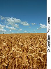 Golden wheat field with fluffy clouds just before harvest...