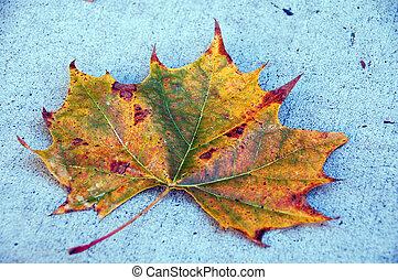Canadá, arce, hoja, otoño, estación