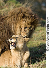 Mating lions - Lion and lioness mating