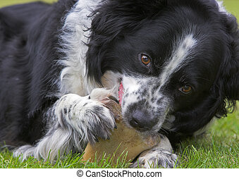 Border Collie and bone - Border Collie sheep dog chewing a...