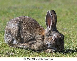 Diseased wild rabbit with  Myxymatosis