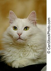 white cat - The portrait of white cat, which sits on the...