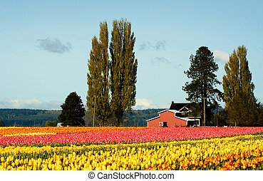 Tulip field - A shot of beautiful and colorful tulips field