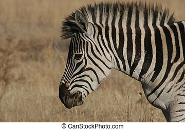 Young zebra in the African bush.